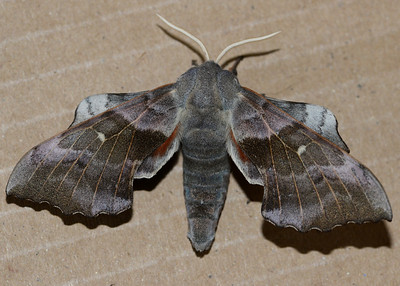 Poplar Hawkmoth (Female)
