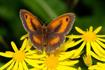 Gatekeeper Butterfly(Maniola tithonius)