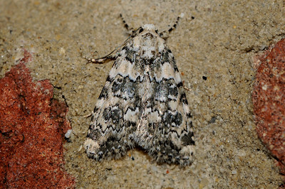 Marbled green moth