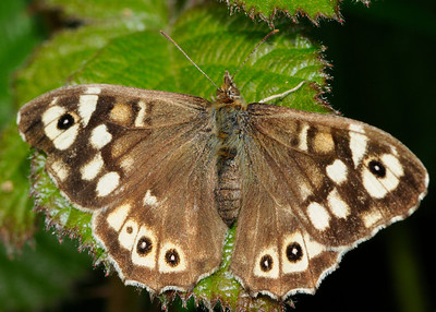 Speckled wood Butterfly (Parage aegeria)