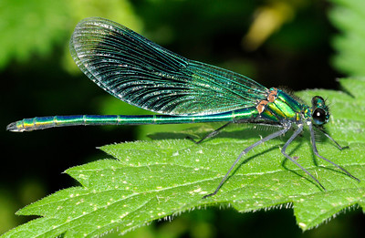 Broad winged Damselfly