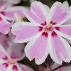 Scented Night Phlox
