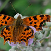 Comma Butterfly Nymphalis c-album(Nymphalidae)
