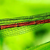 Narrow winged Damselfly/Large red Damselfly(Coenagrionidae Pyrrhosoma Nymphula)