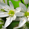 Ramson (Allium ursinum liliaceae) Has the scent of Garlic