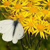 Small white Butterfly(Pieris rapae)