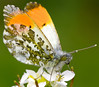 Orange-tip Butterfly