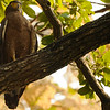 Crested Serpent Eagle (Panna)
