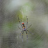 Golden orb Web Spider (Pench)