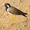 Red Wattled Lapwing (Ranthambore)