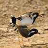 Red-Wattled Lapwing (Ranthambore)