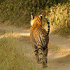 Sitara T28 Star male Tiger (Ranthambore)