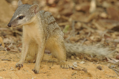 Narrow striped mongoose (Kirindy)