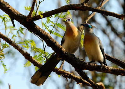 Crested coua (Kirindy)