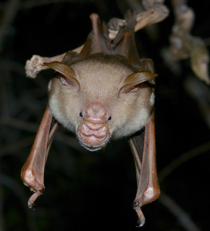 Commersons leaf-nosed Bat (Kirindy)