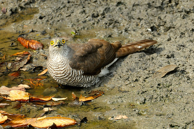 Frances's Sparrowhawk (Kirindy)