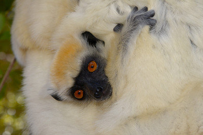 Golden crowned sifaka (Daraina)