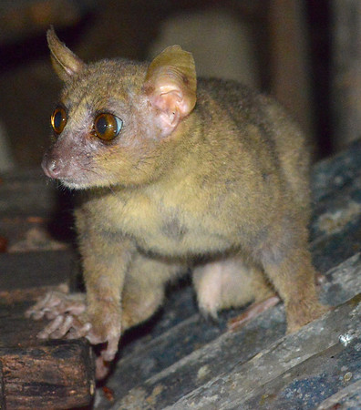 Coquerel's giant mouse lemur (Kirindy)