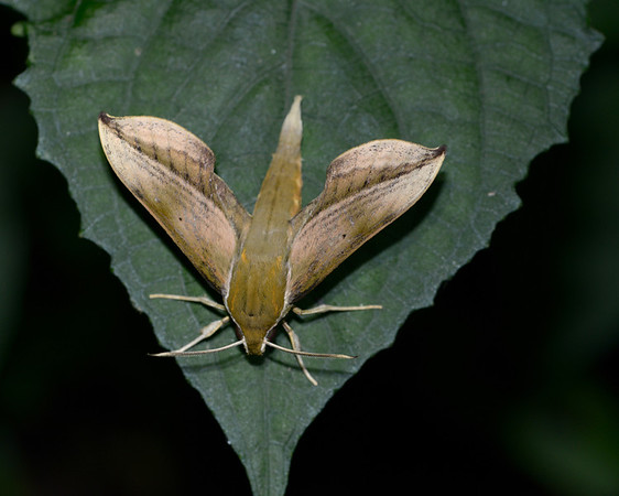 Hawk moth (Marojejy camp 3)