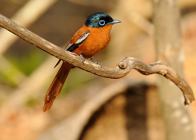 Paradise flycatcher (Kirindy)