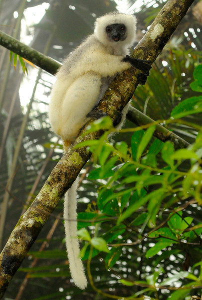 Silky sifaka (Marojejy between camp 2-3)