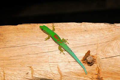 Day Gecko (Masoala)