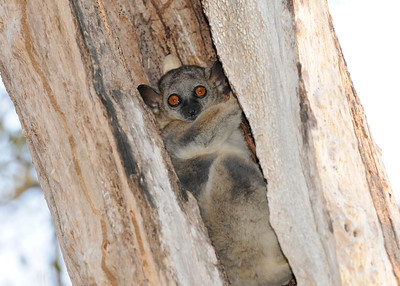 Red Tailed Sportive Lemur (Kirindy)