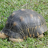 Radiated Tortoise (Nosy Be)