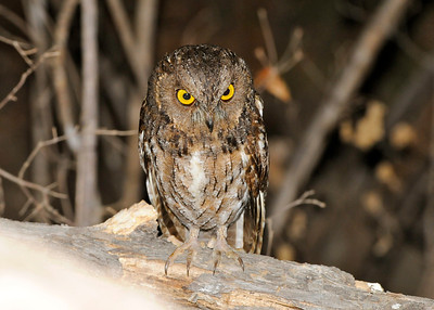 Scops Owl (Kirindy)