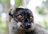 Common Brown Lemur (Lemur Island)