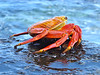 Sally Lightfoot Crab Espanola