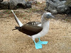 Blue Footed Booby (North Seymour)