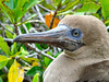 Red Footed Booby (Genovesa)