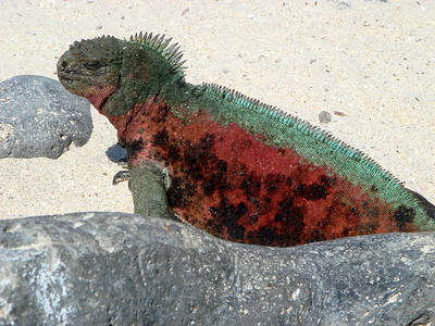 Marine Iguana (Suarez Point)