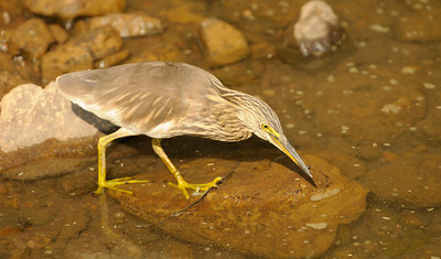 Indian Pond Heron (Ranthambore)