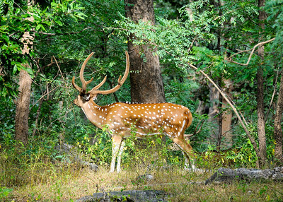 Spotted Deer/Chital (Axis axis) (Pench)