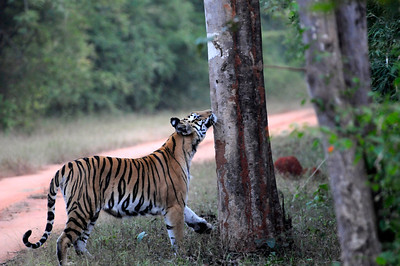 Rajbheria Tigress (Bandhavgarh)