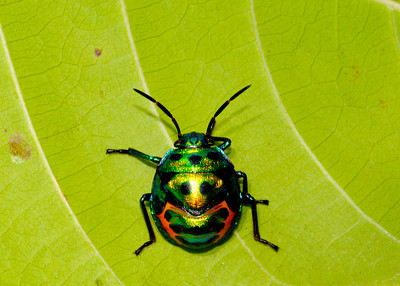 Jewel Beetle (Pench)