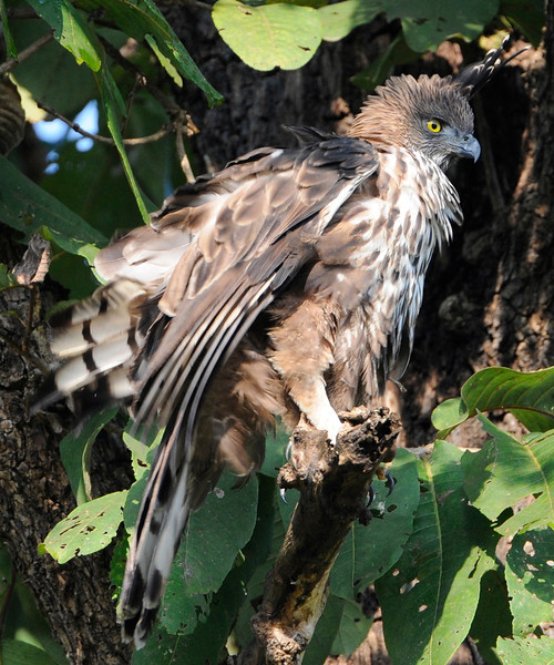 Changeable Hawk Eagle (Kanha) or Crested Hawk Eagle