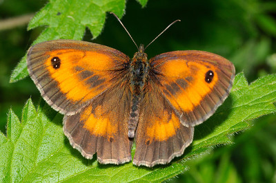 Gatekeeper Butterfly (Maniola tithonius)