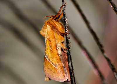 Orange swift Moth