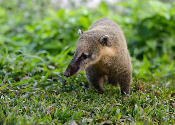 South American Coati ( Nasua Nasua )