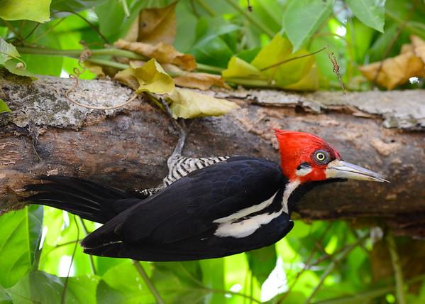 Crimson Crested Woodpecker ( Campephilus Melanoleucos )