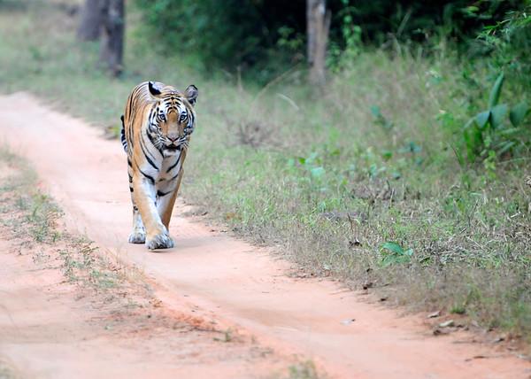 Rajbheria Tigress