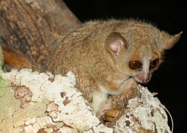 Gray mouse lemur