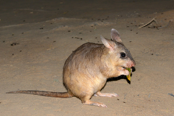 Giant jumping rat