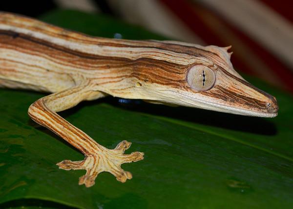 Uroplatus Lineatus (Leaf Tailed Gecko)