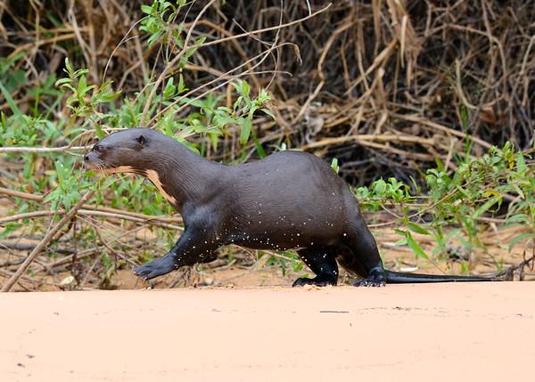 Giant River Otter ( Pteronura Brasiliensis )