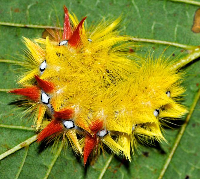 Sycamore moth caterpillar