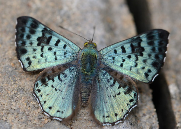 Black Patched Metalmark Butterfly